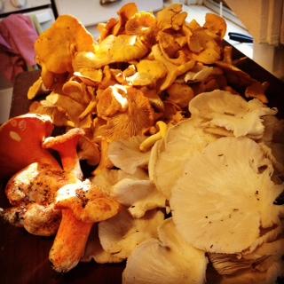 Chanterelles, Oyster mushrooms, and lobster mushrooms